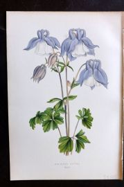 Wooster 1874 Antique Botanical Print. Aquilegia Alpina